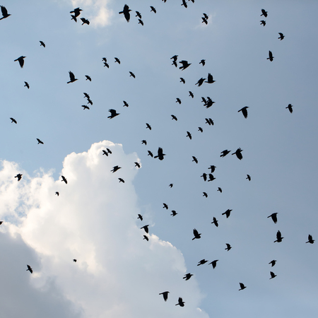 croaking: Large gathering of coal-black crows birds silhouettes hovering and croaking high in blue sky with clouds on natural background outdoor in spring, square picture