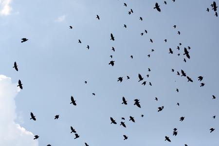 cuervo: Congregaci�n de mirlos cante grajillas aves que vuelan en el cielo azul en la temporada de invierno en fondo natural al aire libre, horizontal de la imagen