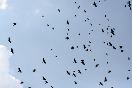 congregation: Congregation of blackbirds crows jackdaws birds flying in blue sky in winter season on natural background outdoor, horizontal picture Stock Photo