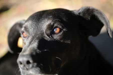 brown and black dog face: Closeup portrait view of one beautiful good cute sad looking black dog with brown eyes sunny day outdoor on natural background, horizontal picture Stock Photo