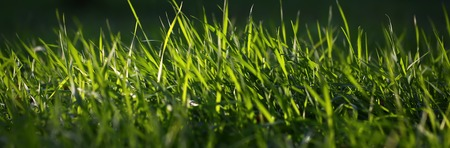 thick growth: Closeup view of beautiful fresh bright green lush spring grass on meadow in sunny warm weather morning on natural background, horizontal picture