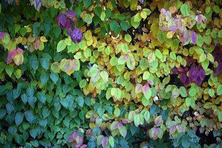 changing color: Photo closeup of beautiful autumn verdant hedge bushes trees with leaves changing color green yellow violet on lush fall heavy foliage background, horizontal picture