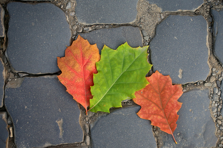 dark grey slate: Photo closeup of three beautiful fallen bright dry colorful red green oak leaves on slate flag-stone pavement autumn season over dark grey stone background, horizontal picture Stock Photo
