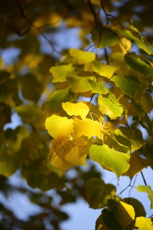 green on yellow: Photo low angle view of beautiful sun-illuminated autumn green yellow heavy foliage on branches of golden-leaved trees over blurred bright blue sky background, vertical picture Stock Photo