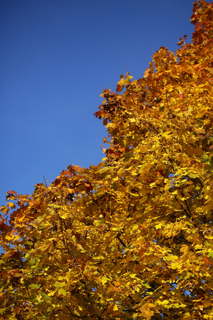 maple trees: Photo low angle view of top branches of golden-leaved maple trees with beautiful sun-illuminated autumn yellow heavy foliage over bright blue sky background, vertical picture Stock Photo