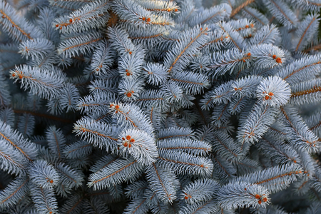 Photo closeup of beautiful evergreen thick thorny blue spruce needles on downy fir tree twigs over coniferous background, horizontal picture 版權商用圖片