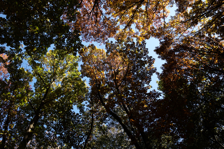 low angle views: Photo low angle view of autumn bright blue sky through sun-illuminated top branches of broad-crowned golden-leaved trees with heavy foliage on Indian summer background, horizontal picture