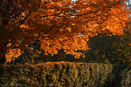 quick hedge: Photo of beautiful autumn park with picturesque broad-crowned golden-leaved trees and verdant hedge on bright fall orange heavy foliage background, horizontal picture