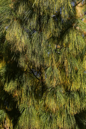 downy: Photo closeup of beautiful evergreen thick thorny green needles on downy fir tree pine twigs with cones deal apples over coniferous background, vertical picture Stock Photo
