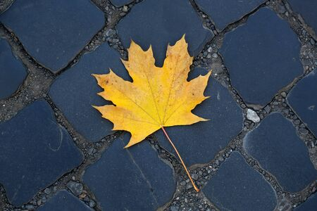 flagstone: Photo closeup of one beautiful fallen bright dry yellow golden maple leaf on slate flag-stone pavement autumn season over dark grey stone background, horizontal picture Stock Photo