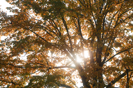 sunspot: Photo low angle view autumn sky bright rays of sun through sun-illuminated top branches of spreading broad-crowned golden-leaved tree with heavy foliage on sunspot background, horizontal picture