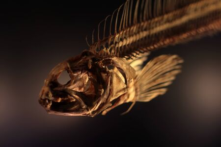 fossilized: Photo closeup of dried boned fish skeleton cranium fin and spine bone on dark blurred background, horizontal picture Stock Photo