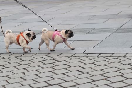 flagstone: Photo of two breed dogs pugs with wrinkly short-muzzled faces curled tails fawn coats and muscled bodies walked on lead along flag-stone pavement on grey urban landscape background, horizontal picture