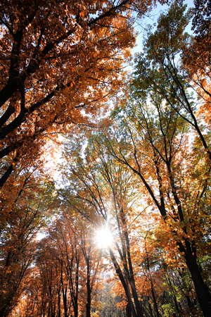 low angle views: Photo low angle view of Indian summer bright sunny sky through sun-illuminated top branches of broad-crowned golden-leaved trees with heavy foliage on rays of sun autumn background, vertical picture Stock Photo
