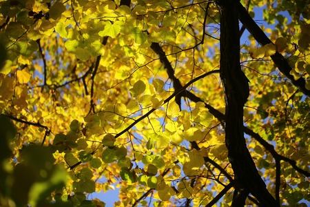 green on yellow: Photo low angle view of beautiful sun-illuminated autumn green yellow heavy foliage on branches of golden-leaved trees over blurred bright blue sky background, horizontal picture
