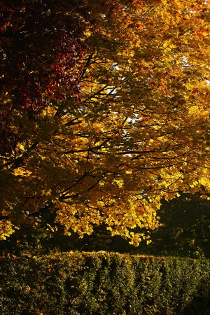 quick hedge: Photo of beautiful autumn park with picturesque broad-crowned golden-leaved trees and verdant hedge on bright fall colorful heavy foliage background, vertical picture