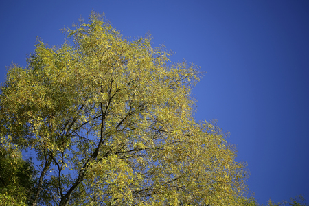 low angle views: Photo low angle view of top branches of broad-crowned golden-leaved trees with beautiful sun-illuminated autumn yellow heavy foliage over bright blue sky background, horizontal picture