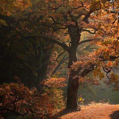 oak trees: Photo of picturesque sun-illuminated oak grove wood of old aged broad-crowned golden-leaved trees with colorful heavy foliage on autumn timber land background, square picture Stock Photo