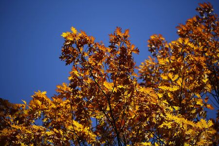 low angle views: Photo low angle view of top branches of golden-leaved oak trees with beautiful sun-illuminated autumn yellow heavy foliage over bright blue sky background, horizontal picture