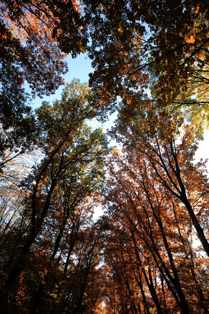 low angle views: Photo low angle view of autumn bright blue sky through sun-illuminated top branches of broad-crowned golden-leaved trees with heavy foliage on sunny Indian summer background, vertical picture
