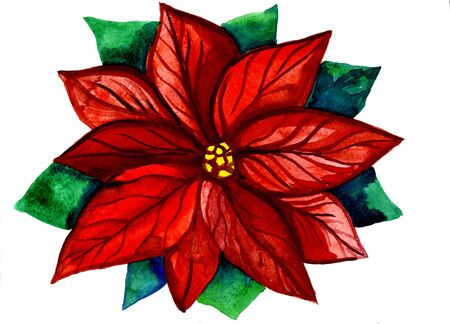 Closeup beautiful watercolor aquarelle painting hand drawn illustration of one popular traditional red and green Christmas flower symbol of New Year holidays on white background, horizontal picture