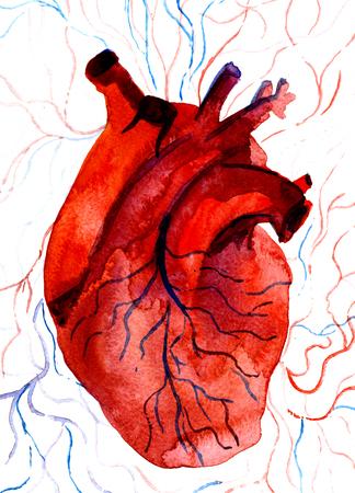vasos sanguineos: Primer parte hermosa de la acuarela pintura acuarela dibujada retrato anat�mica de carm�n c�mara card�aca coraz�n humano de un color rojo sangre con los vasos sangu�neos en el fondo blanco, imagen vertical Foto de archivo