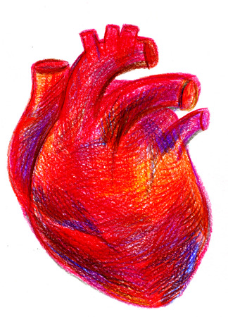 anatomic: Closeup multicolored pencil drawing crayon hand drawn anatomic portrait of one blood-red carmine human heart cardiac chamber with great vessels on texture paper over white background, vertical picture