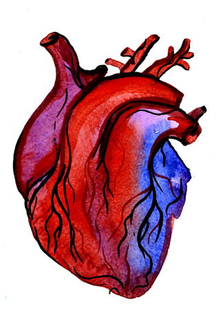 carmine: Closeup beautiful watercolor aquarelle painting hand drawn anatomic portrait of one colorful blood-red carmine human heart cardiac chamber with blood vessels on white background, vertical picture