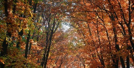 indian summer: Photo low angle view panoramic shot  of Indian summer fall top branches of broad-crowned golden-leaved trees with heavy foliage on bright colored autumn background, horizontal picture