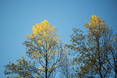 maple trees: Photo low angle view of top branches of maple trees with beautiful sun-illuminated autumn yellow leaves heavy foliage over bright blue sky background, horizontal picture