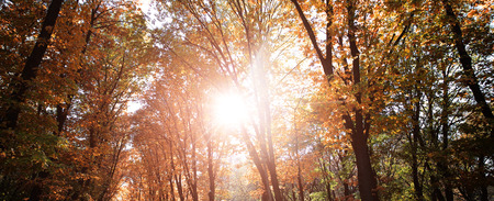 sunspot: Photo low angle view panoramic shot autumn sky bright rays of sun through sun-illuminated top branches of broad-crowned golden-leaved trees with heavy foliage on sunspot background, horizontal picture