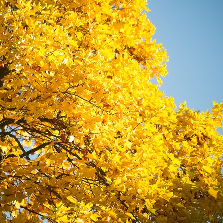 maple trees: Photo low angle view of top branches of golden-leaved maple trees with beautiful sun-illuminated autumn yellow heavy foliage over bright blue sky background, square picture