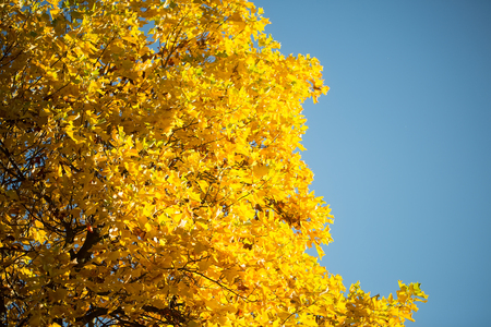 low angle views: Photo low angle view of top branches of golden-leaved maple trees with beautiful sun-illuminated autumn yellow heavy foliage over bright blue sky background, horizontal picture