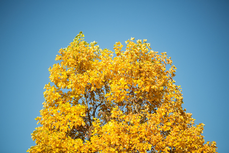 maple trees: Photo low angle view of top branches of golden-leaved maple trees with beautiful sun-illuminated autumn yellow heavy foliage over bright blue sky background, horizontal picture