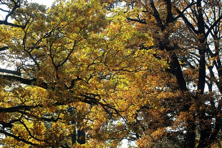 low angle view: Photo low angle view of Indian summer fall top branches of old tall broad-crowned golden-leaved trees with yellow brown colored heavy foliage on dull autumn background, horizontal picture