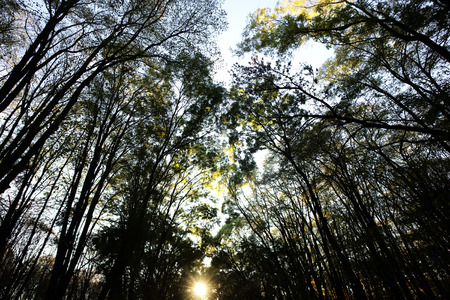 slanting: Photo low angle view of autumn bright sky through sun-illuminated top branches of broad-crowned golden-leaved trees with heavy foliage on slanting rays of setting sun background, horizontal picture Stock Photo