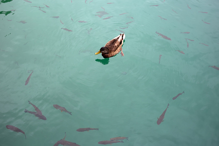 black fish: Photo closeup of one wild duck floating in clear water of blue lake pond full of black fish day time on natural landscape background, horizontal picture