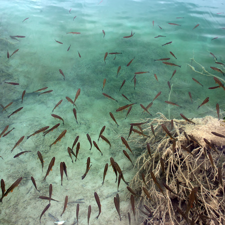 pond: Photo closeup of grey fish shoal on top clear water surface of transparent blue lake pond sand bottom day time on natural landscape background, square picture