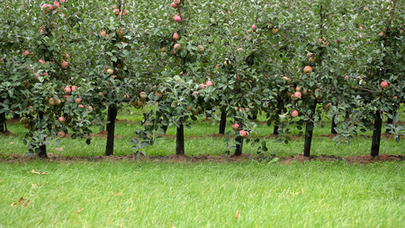 big picture: Photo closeup of beautiful apple garden full of ripped red apples trees in rows big fruit heavy branches green leaves and grass on agrarian background, horizontal picture