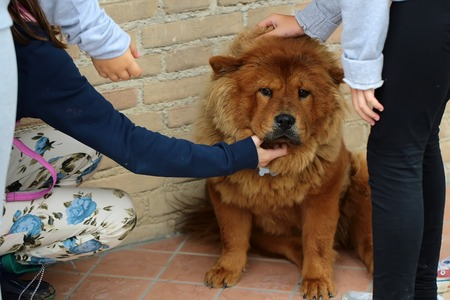 ruffle: Photo closeup of cute Chow Chow fluffy guardian dog and children ruffle pet reddish smooth thick fur coat on masonry wall background, horizontal picture