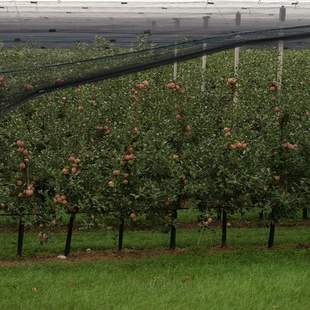 agrarian: Photo closeup of beautiful apple garden full of ripped red apples trees in rows net stretched big fruit heavy branches green leaves and grass on agrarian background, square picture