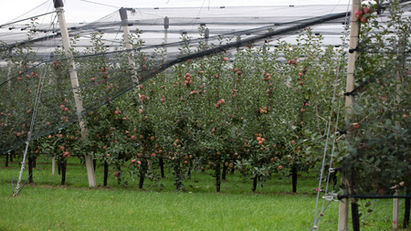 agrarian: Photo closeup of beautiful apple garden full of ripped red apples trees in rows net stretched big fruit heavy branches green leaves and grass on agrarian background, horizontal picture