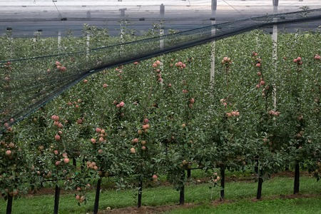 big picture: Photo closeup of beautiful apple garden full of ripped red apples trees in rows net stretched big fruit heavy branches green leaves and grass on agrarian background, horizontal picture