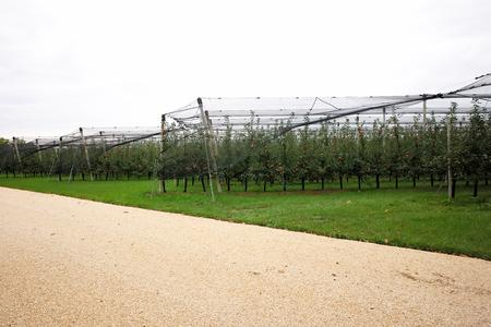 plan éloigné: Photo long shot de beau jardin de pomme pleine de mûrs rouges arbres pommes en rangées net étiré grand fruits branches lourdes feuilles vertes et d'herbe sur fond agraire, image horizontale