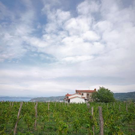plan éloigné: Photo long shot de beau vert vigne vignoble terre de vigne sur les coteaux en rangées été ferme de jour sur fond de ciel nuageux, image carrée Banque d'images