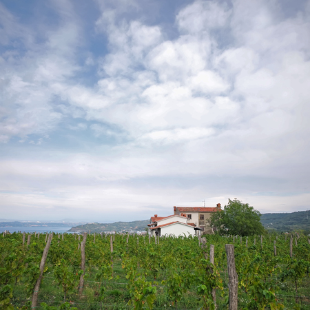 vinery: Photo long shot of beautiful green vineyard vinery vine land on hillsides in rows farm house day time summer on cloudy sky background, square picture Stock Photo