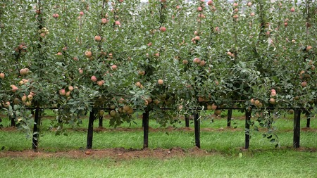 fresh apple: Photo closeup of beautiful apple garden full of ripped red apples trees in rows big fruit heavy branches green leaves and grass on agrarian background, horizontal picture