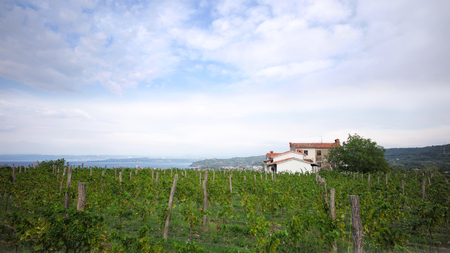 plan éloigné: Photo long shot of beautiful green vineyard vinery vine land on hillsides in rows farm house day time summer on cloudy sky background, horizontal picture