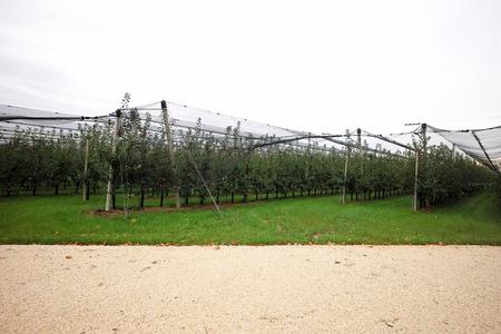 plan �loign�: Photo long shot de beau jardin de pomme pleine de m�rs rouges arbres pommes en rang�es net �tir� grand fruits branches lourdes feuilles vertes et d'herbe sur fond agraire, image horizontale