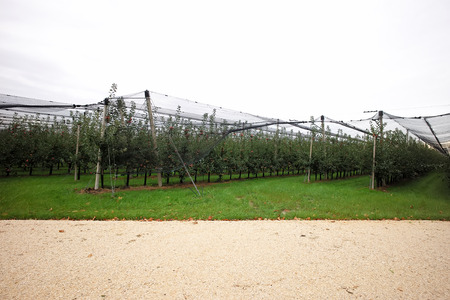 agrarian: Photo long shot of beautiful apple garden full of ripen red apples trees in rows net stretched big fruit heavy branches green leaves and grass on agrarian background, horizontal picture